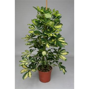 Schefflera arboricola 'Gold Capella / Dalto'