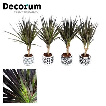 Dracaena Make-Upz zwart op stam 7 cm in pot Pamm (Decorum)