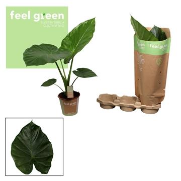 Alocasia Macrorrhiza  Feel Green
