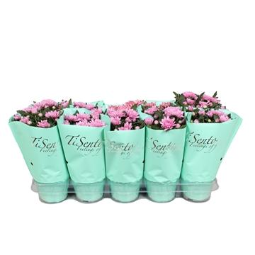 Concept - chrysant 12 cm roze
