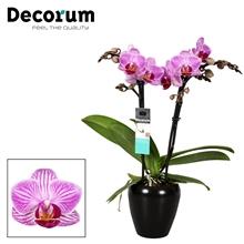Phalaenopsis  Zurich 2 tak Keramiek Decorum