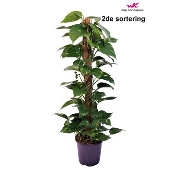 Scindapsus (Epipremnum)mosstok 100cm 2de sortering