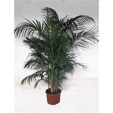 Kentia Howea Fosteriana 8-10 Plants