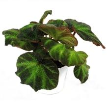 Artikel #226434 (621: Begonia Rex 'Decora')
