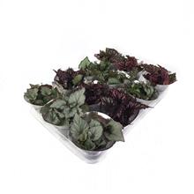 Artikel #333168 (666A: Mini Begonia Rex Mix 6cm in floracup)