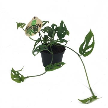 Philodendron Monstera Adasonii