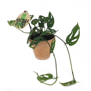 Philodendron Monstera Adasonii w/dump in claypot
