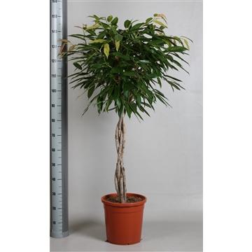 Ficus amstel king gevlochten stam