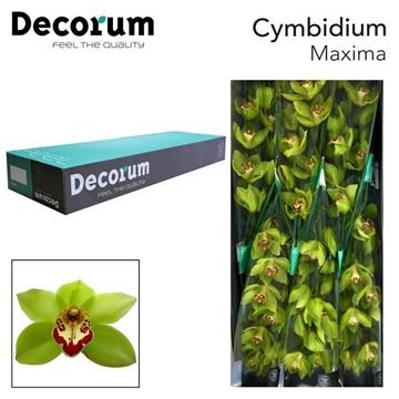 CYMB T Maxima Decorum