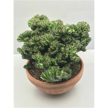 Euphorbia Lactea Cristaat