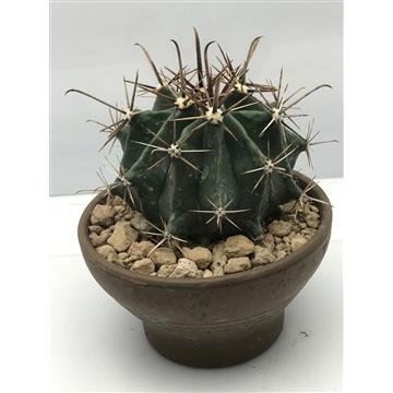 Ferocactus  Townsendianus