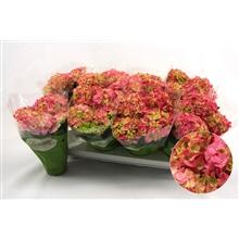 Hydrangea macr. 10cm Rose 3+ bloem