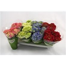 Hydrangea macr. 10cm mix 3+bloem