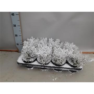 Calocephalus sneeuw