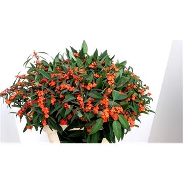 Euphorbia vertakt Queen of Orange