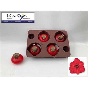 amaryllis gewaxt rood - hippeastrum wax red
