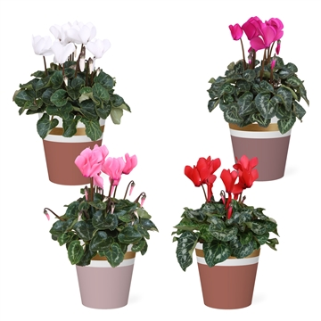 Collectie 'Moments' - Cyclamen in Smartcup Joy