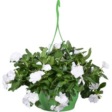 Catharanthus roseus Cascade White