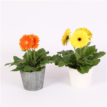Gerbera gemengd in houten pot 2 ass
