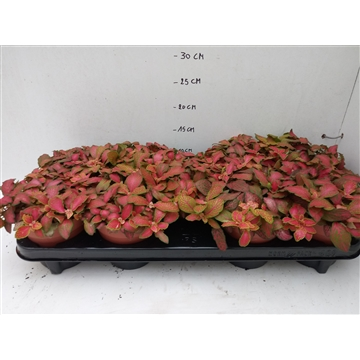 FITTONIA ROOD
