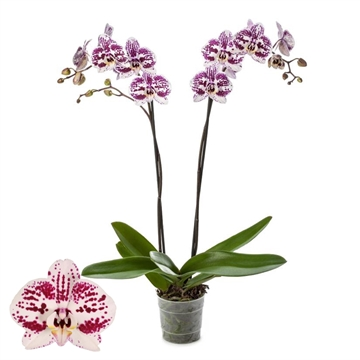 Phalaenopsis 2-Tak Decoration 12+ 60 cm