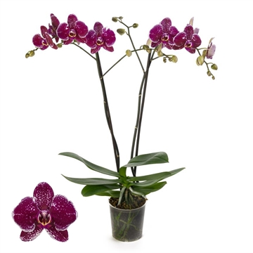 Phalaenopsis 2-Tak Eduction 12+ 60 cm