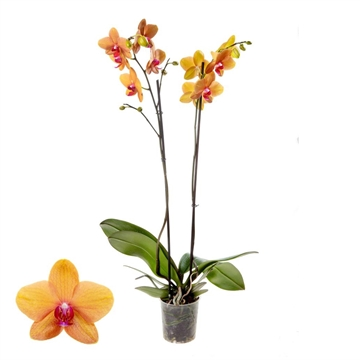 Phalaenopsis 2-Tak Egyption 12+ 60 cm