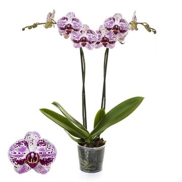 Phalaenopsis 2-Tak Euphorion 12+ 60 cm