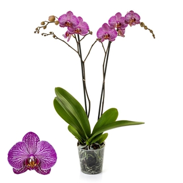 Phalaenopsis 2-Tak Flirtation 12+ 60 cm
