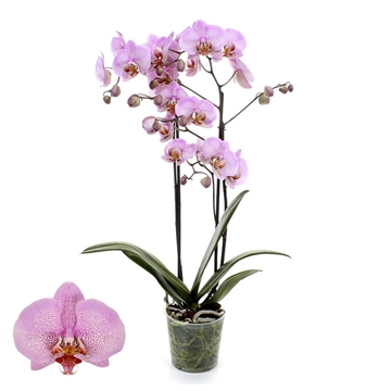 Phalaenopsis 2-Tak Formation 12+ 60 cm
