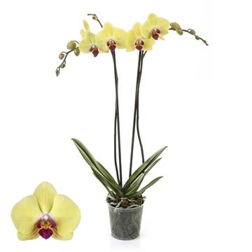 Phalaenopsis 2-Tak Goldion 12+ 60 cm