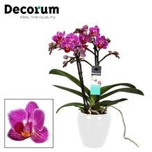 Phalaenopsis  Puebla 2 tak vertakt  Wit Keramiek Decorum