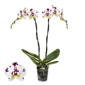 Phalaenopsis 2-Tak Kellion