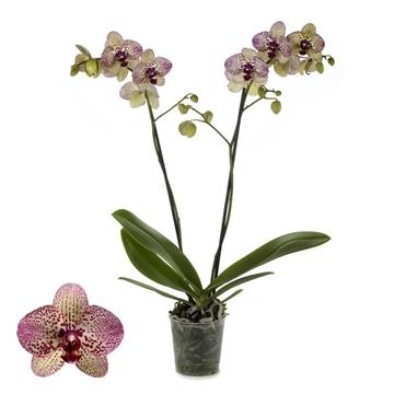 Phalaenopsis 2-Tak Kleopatra 12+ 60 cm