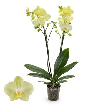 Phalaenopsis 2-Tak Minion 12+ 60 cm