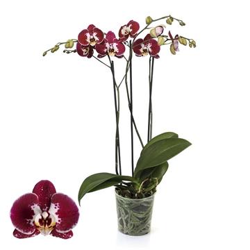 Phalaenopsis 2-Tak Modulation 12+ 60 cm