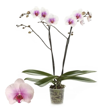 Phalaenopsis 2-Tak Mountion 12+ 60 cm