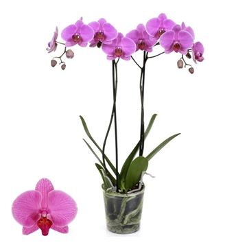 Phalaenopsis 2-Tak Prediction 12+ 60 cm