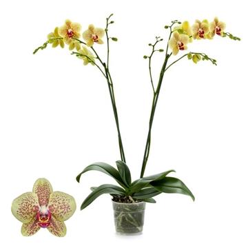 Phalaenopsis 2-Tak Pulsation 12+ 60 cm