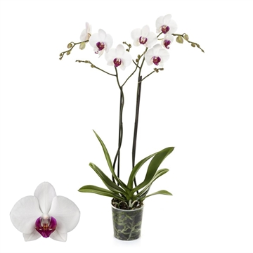 Phalaenopsis 2-Tak Red Lip 12+ 60 cm