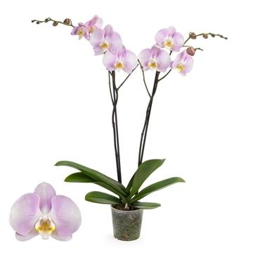 Phalaenopsis 2-Tak Silkion 12+ 60 cm