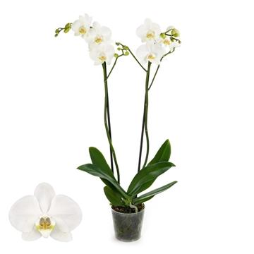 Phalaenopsis 2-Tak Vivion 12+ 60 cm