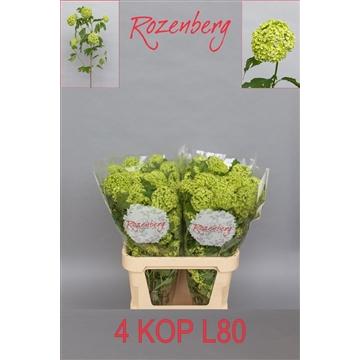 Viburnum opulus Roseum L80-4K