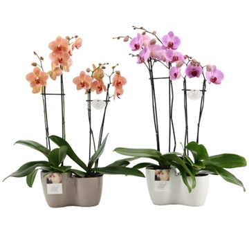 "Phalaenopsis ""Real Love"" mix 4-tak"