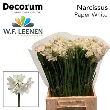 Narcis Paper White