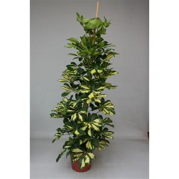 Schefflera arboricola Gold Capella