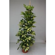 Artikel #477324 (ES-SCHDA30180: Schefflera arboricola Gold Capella)