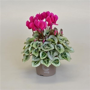 Cyclamen SS Picasso Paars