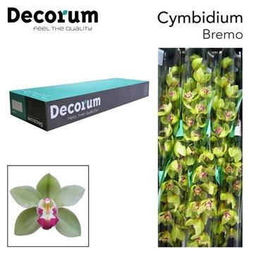 CYMB T Bremo Decorum