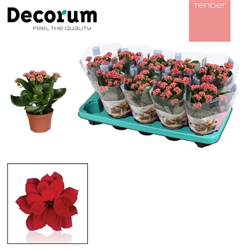 Kalanchoë Decorum TENDER - Serenity Light Red